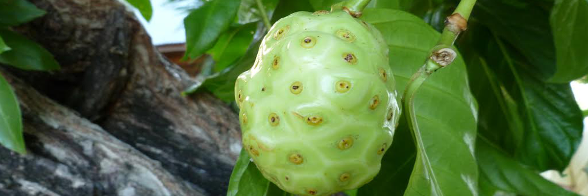 wild noni fruit